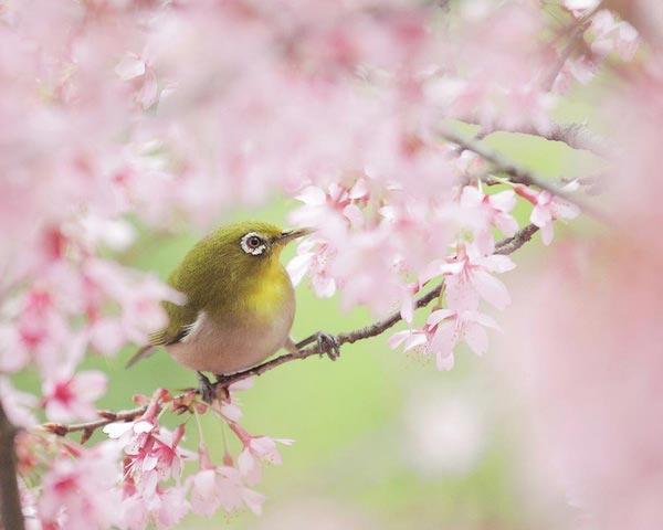 Дата цветения сакуры 2018
