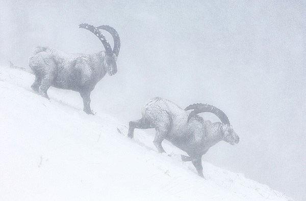"""Млекопитающие.  Кристоф Сидамон-Пессон (Франция) с его  """"Козлами в метели..."""